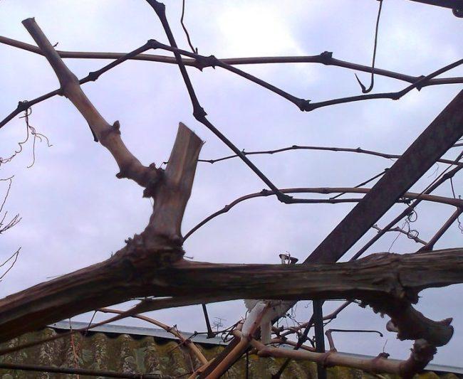 Обрезка виноградной лозы в осенний период, удаление вызревшей ветки на пенек
