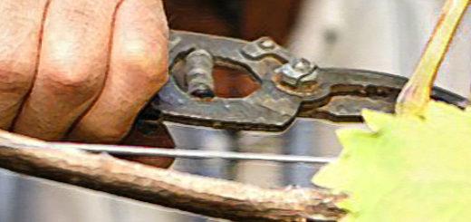 Обрезка куста винограда секатором