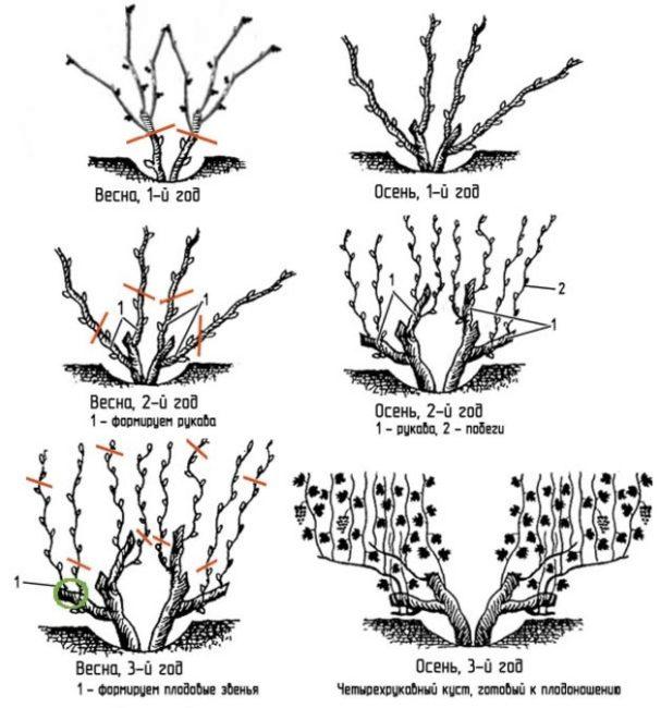 Схема бесштамбовой обрезки винограда на протяжении трех первых лет жизни куста