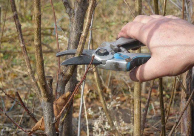 Осенняя обрезка винограда на черенки для зимнего хранения и последующей весенней посадки