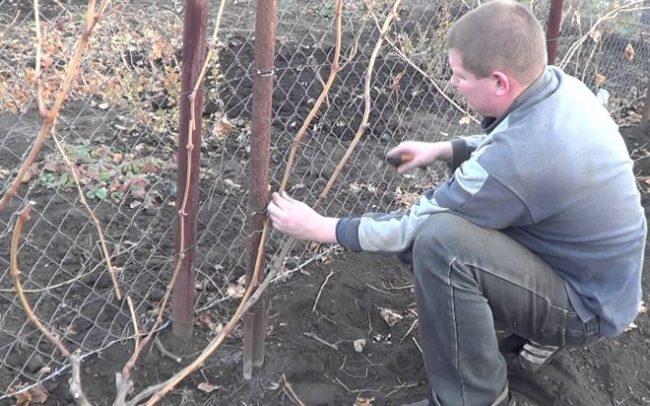 Осенняя обрезка виноградной лозы садоводом и забор из сетки рабицы