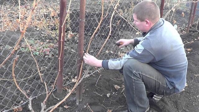 Садовод занимается осенней обрезкой виноградной лозы, подготавливая ветки для укладки в укрытие