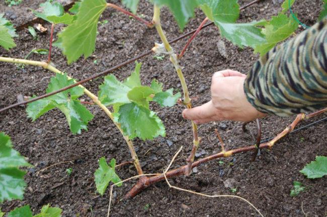 Стебель винограда с корой зеленого цвета, обрезка побегов перед зимнем укрытием
