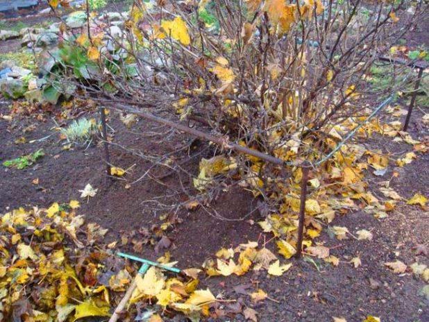 Куст крыжовника поздней осенью, сгребание опавшей листвы и прополка