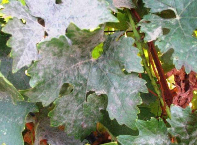 Лист винограда с мучнистым грибным налетом белого цвета