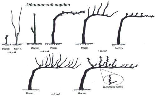 Схема формовки винограда одноплечий кордон в первые года жизни