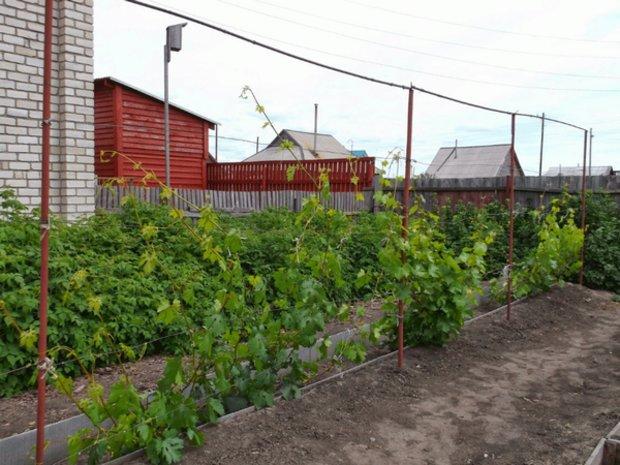 Однорядная шпалера высотой 3,5 метра на частном садовом участке и молодая виноградная лоза