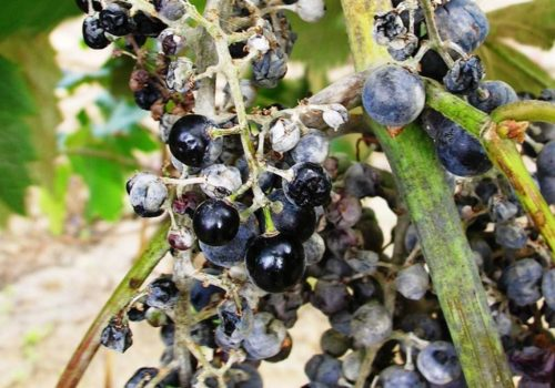 Больные кисти винограда с явными признаками поражения растения настоящей мучнистой росой