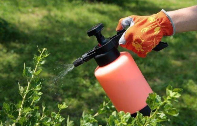 Ручной опрыскиватель в руке садовода и тонкие ветки крыжовника, летняя обработка кустарника от вредителей
