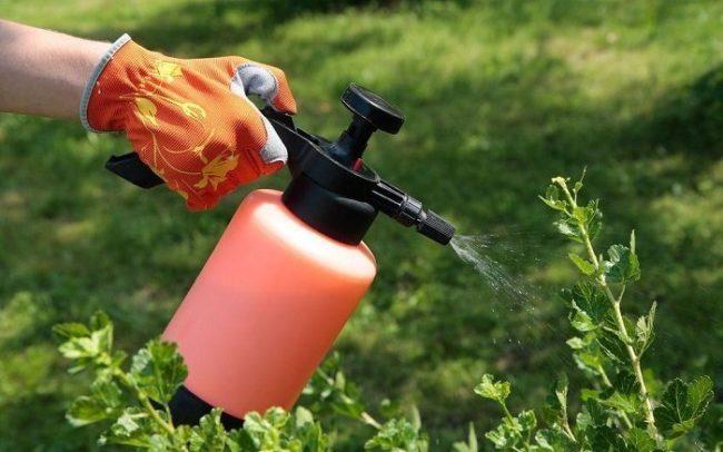 Пульверизатор в руке садовода, опрыскивание листьев крыжовника от заболеваний