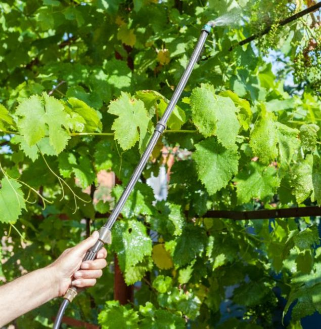 Летнее опрыскивание виноградной лозы от вредителей раствором инсектицида
