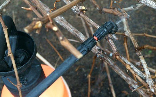 Санитарное опрыскивание стеблей винограда сорта Монарх до распускания почек