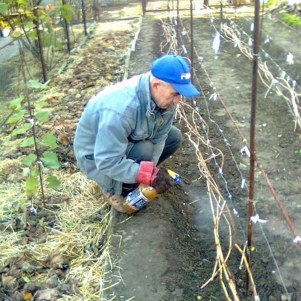 Осеннее опрыскивание виноградной лозы раствором железного купороса перед укрытием на зиму