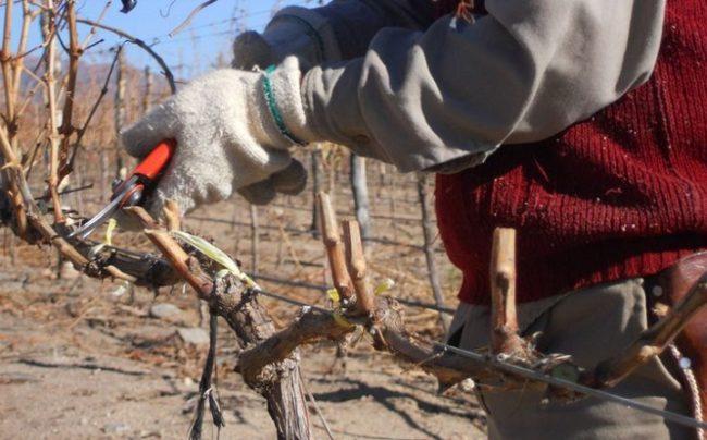 Обрезка виноградной ветки острым секатором в осенний период