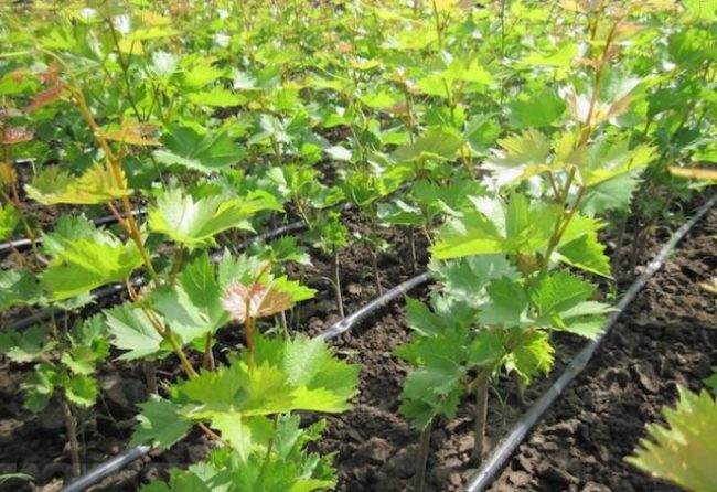 Молодые побеги винограда растут в земле