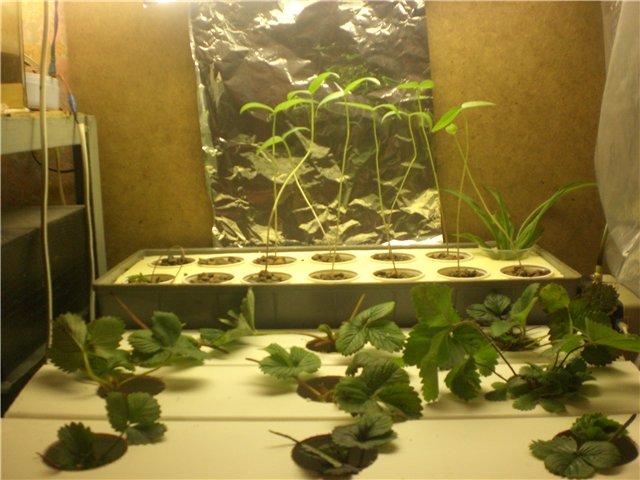 Самодельное освещения для клубники, выращиваемой на гидропонике в домашних условиях