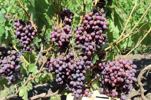 Виноградная лоза с гроздьями созревающих плодов красно-фиолетового цвета