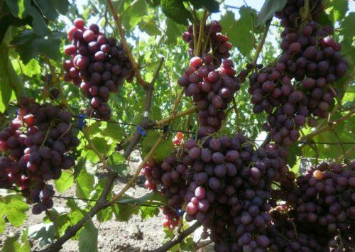 Грозди спелого винограда Памяти Учителя раннего срока созревания