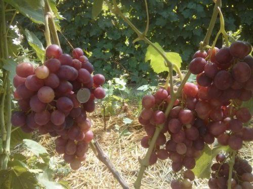 Грозди винограда сорта Памяти Учителя с ягодами темно красного цвета с фиолетовым оттенком