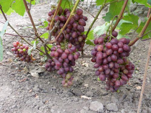 Три спелые грозди винограда у самой поверхности земли
