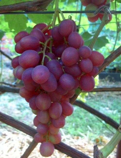 Крупная гроздь винограда десертного сорта Памяти Учителя