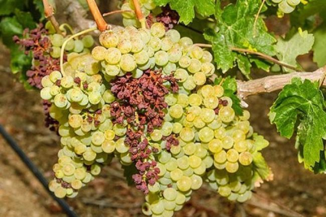 Сухая гроздь винограда – паралич гребней на стадии созревания плодов