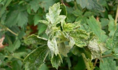 Признаки появления паутинного клеща на листьях крыжовника
