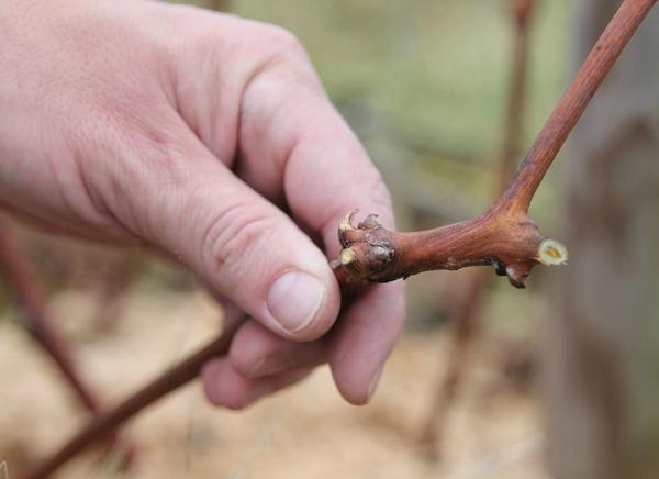 Грамотно обрезанный сучок на одеревеневшей ветке винограда в руке садовода