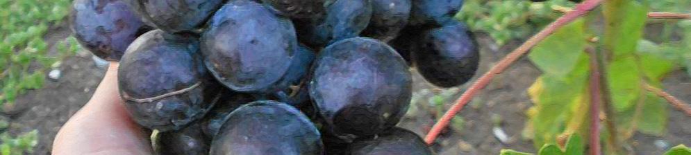 Немного перезревшие плоды винограда Рошфор