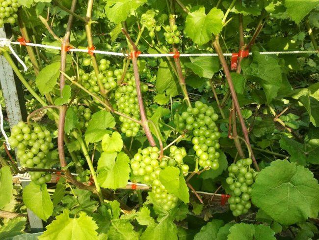 Подвязанные к шпалере одеревеневшие ветки виноградной лозы сорта Платовский и зеленые кисти ягод