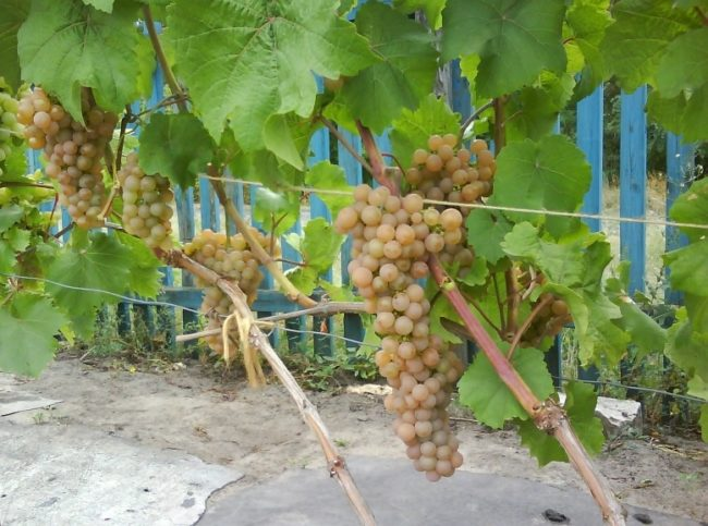 Виноградная лоза сорта Платовский и крупные грозди со спелыми ягодами