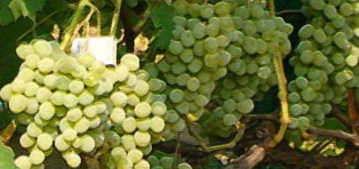 Плоды виноград сорта Плевен в грозди на кусте