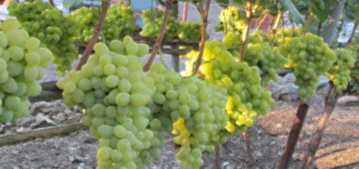 Спелые грозди сорта винограда Аркадия вблизи
