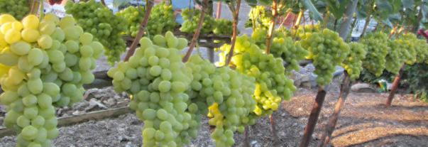 Виноград Аркадия: описание сорта, фото и отзывы