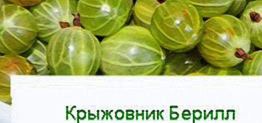 Плоды крыжовника Берилл на тарелочке