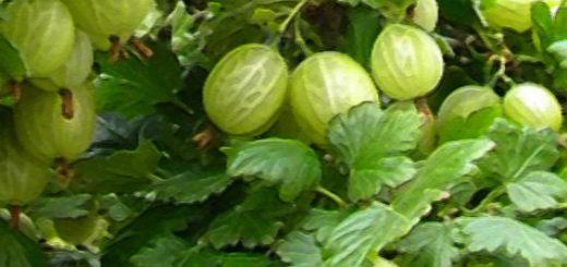 Плоды неспелого крыжовника со штамба