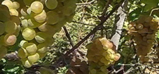 Поспевающие плоды винограда сорта Платовский вблизи на кусте