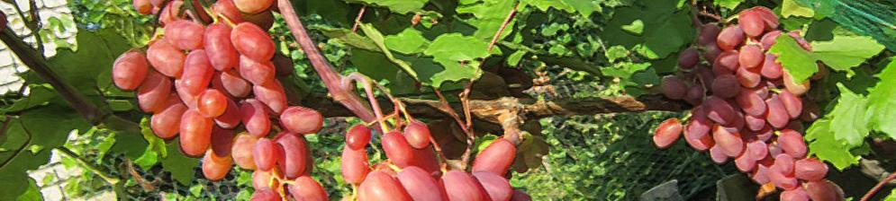 Спелые плоды сорта винограда Преображение