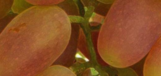 Плоды винограда Сенсация вблизи спелые