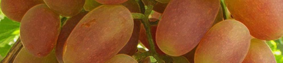 Виноград сенсация описание сорта фото отзывы видео