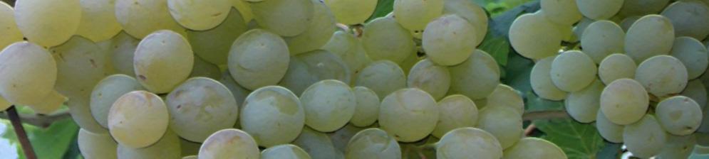 Плоды сорта Ванюша вблизи не зрелые