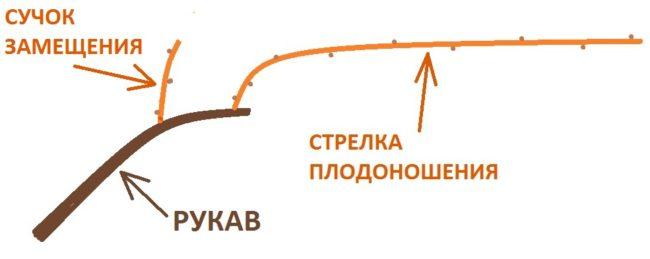 Схема формирования рукав виноградной лозы с сучком замещения и стрелкой плодоношения
