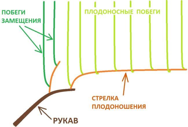 Схема формирования плодового звена с сучком замещения в летний период