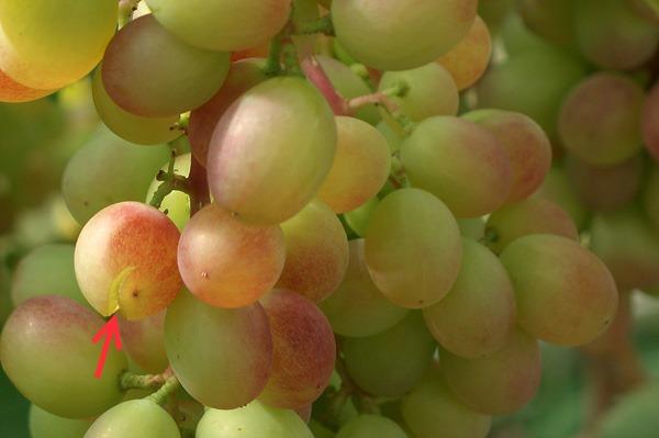 Кисть винограда гибридного сорта Виктория и трещина на ягоде вблизи