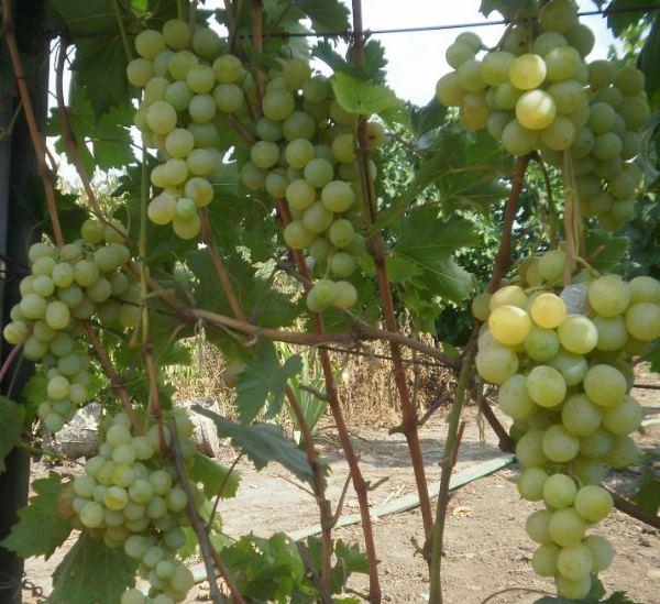 Ветки виноградного куста на проволочной шпалере и кисти с ягодами светло-зеленого оттенка