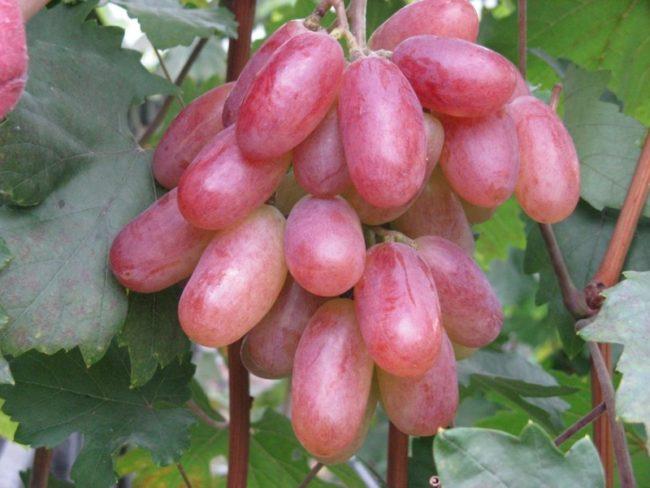 Спелые и крупные ягоды межвидового гибрида винограда Юбилей Новочеркасска