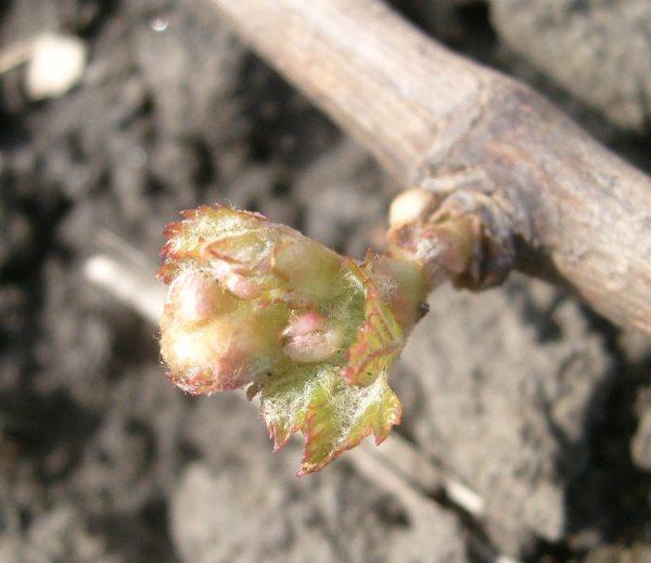 Распускающаяся почка винограда крупным планом ранней весной