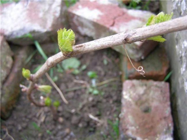 Ветка винограда Рошфор ранней весной, набухли почки и распускаются первые листочки