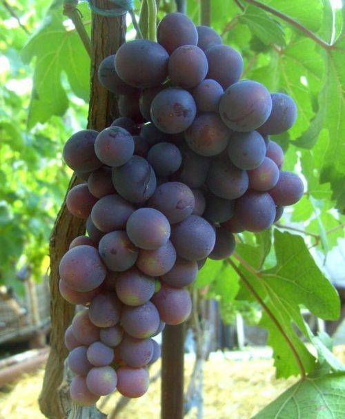 Кисть столового винограда сорта Подарок Несветая с плодами темно-фиолетового цвета с сизым налетом