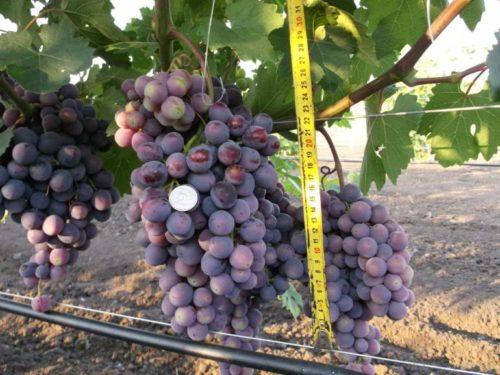 Крупные кисти винограда сорта Подарок Несветая, монетка и рулетка измерительная